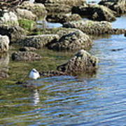Seagull In The Water Poster
