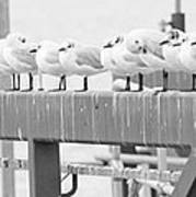 Seagulls In A Row Poster