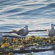 Seagulls In Victoria Bc Poster