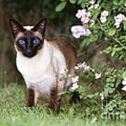 Seal Point Siamese Cat Poster