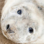 Seal Pup Poster