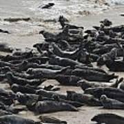 Seals On The Blasket Island Poster
