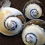 Seashells Spectacular No 23 Poster by Ben and Raisa Gertsberg