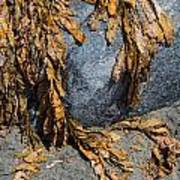 Seaweed On The Rock Poster