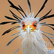 Secretary Bird Portrait Close-up Head Shot Poster