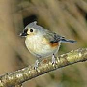 Seed On Tufted Titmouse Poster