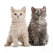 Selkirk Rex Kittens Poster