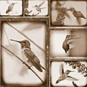 Sepia Hummingbird Collage Poster
