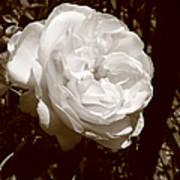 Sepia Rose Poster