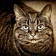Serious Tabby Cat Poster