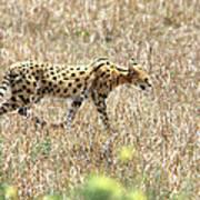 Serval Cat - Kenya Poster
