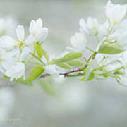 Serviceberry Blossoms Poster by Beverly Cazzell
