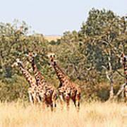 Seven Masai Giraffes Poster