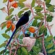 Seychelles Paradise Flycatcher Poster