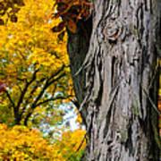 Shagbark Hickory Tree Poster