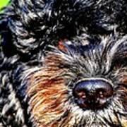 Shaggy Black Dog Poster