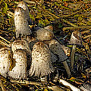Shaggy Ink Caps - Coprinus Comatus Poster