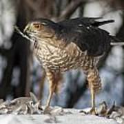 Sharp-shinned Hawk And Feather Poster