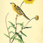 Sharp-tailed Bunting Poster by Philip Ralley
