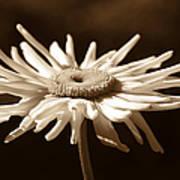 Shasta Daisy Flower Sepia Poster