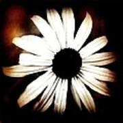 Shasta Daisy - Sepia Tones Photograph Poster