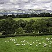Sheep And More Sheep Poster