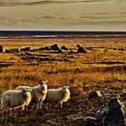 Sheep At Sundown  Poster