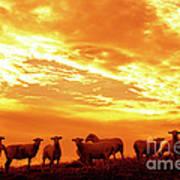 Sheep At Sunrise Poster