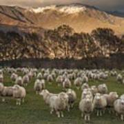 Sheep Flock At Dawn Arrowtown Otago New Poster