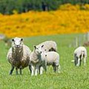 Sheep Grazing Poster
