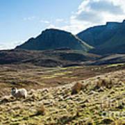 Sheep On Grassland Highlands Scotland Uk Poster