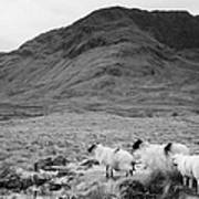 sheep on rough ground Doulough Poster