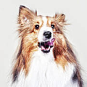 Sheep The Sheltie Poster