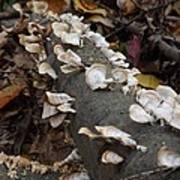Shelf Mushrooms In Autumn Poster