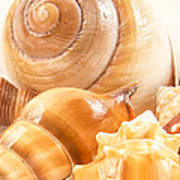Shells Poster by Jean Noren