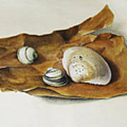 Shells On Paper Poster by Horst Braun