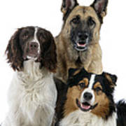 Shepherds With English Springer Spaniel Poster