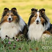 Shetland Sheepdogs Poster