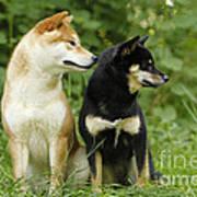 Shiba Inu Dogs Poster