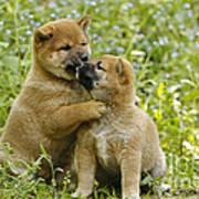 Shiba Inu Puppies Poster