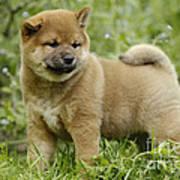 Shiba Inu Puppy Dog Poster