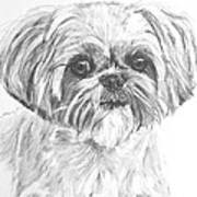 Shih Tzu Portrait In Charcoal Poster by Kate Sumners
