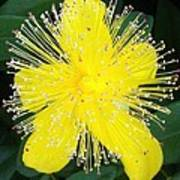 Shimmer Yellow Flower Poster
