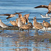 Shorebirds Flocking At Bodega Bay Poster