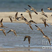 Short-billed Dowitchers Flying Poster