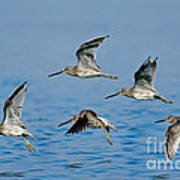 Short-billed Dowitchers In Flight Poster