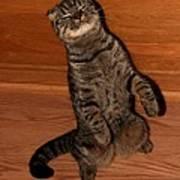 Shorthair Scottish Fold Cat Poster