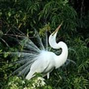 Showy Great White Egret Poster