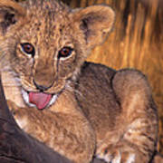 Shy African Lion Cub Wildlife Rescue Poster