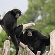 Siamang Monkeys Poster